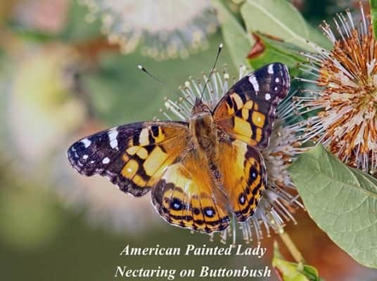 American-Painted-Lady-e