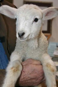 Little lamb at Lane Animal Hospital.